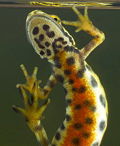Portrait of male Smooth / Common Newt (Triturus vulgaris) showing orange underside, Germany - S. Zankl