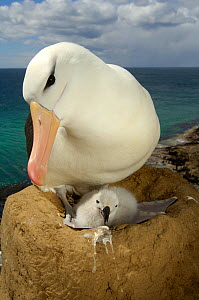 Black browed albatross (Thalassarche melanophrys) on nest with chick, Falkland Islands - Solvin Zankl