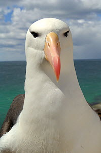 Black browed albatross (Thalassarche melanophrys) portrait, Falkland Islands - Solvin Zankl
