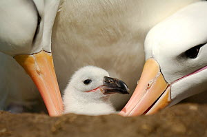 Black browed albatross (Thalassarche melanophrys) parents tending chick, Falkland Islands - Solvin Zankl