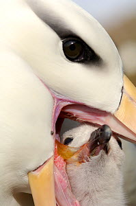Black browed albatross (Thalassarche melanophrys) feeding chick, Falkland Islands - Solvin Zankl