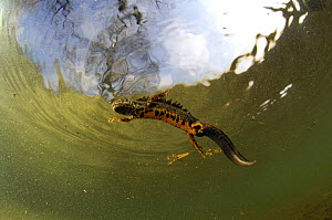 High angle shot of male Great / Northern crested newt (Triturus cristatus) in water, Germany  -  S. Zankl