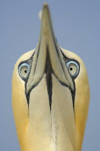 Northern gannet (Morus bassanus) portrait, Bass Rock, Scotland UK - Solvin Zankl