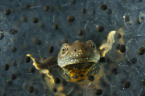 Male Great / Northern Crested Newt, (Triturus cristatus) in frogspawn, Germany  -  S. Zankl
