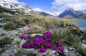 Red Alpine / Stinking Primerose (Primula hirsuta) flowering at lake Lej Nair, Bernina Valley, Grisons, Switzerland  -  Kerstin Hinze