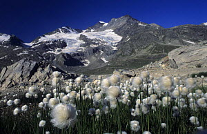 Scheuchzer's Cotton Grass (Eriophorum scheuchzeri), Lake Lago Bianco with Cambrena-Glacier in background, Bernina Valley, Grisons, Switzerland  -  Kerstin Hinze