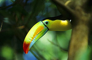 Keel-billed Toucan (Ramphastos sulfuratus) portrait, South America  -  Kerstin Hinze