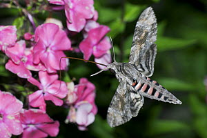 Convolvulus Hawk Moth (Agrius convolvuli) using long tongue to feed on nectar from garden phlox (Phlox paniculata), Austria  -  Kerstin Hinze