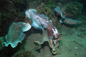 Giant cuttlefish (Sepia apama), large battle scarred male preventing an intruding male from approaching an egg-laying female, who has now been joined by a third male. Spencer Gulf, Wayalla, South Aust...  -  Georgette Douwma