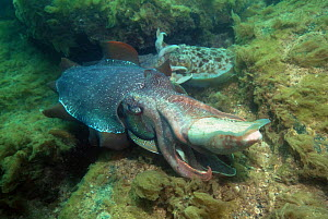 Giant cuttlefish (Sepia apama) mating. The large male in the foreground is with a very small female. Spencer Gulf, Wayalla, South Australia.  -  Georgette Douwma
