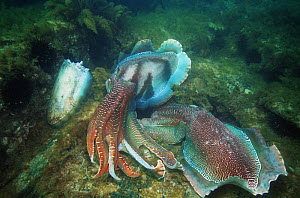 Giant cuttlefish (Sepia apama) males displaying while guarding their females to ward off other males, Spencer Gulf, Wayalla, South Australia. The female they are fighting over is actually decapitated...  -  Georgette Douwma