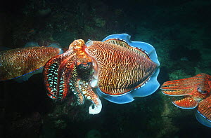 Pharaoh cuttlefish (Sepia pharaonis), male guarding egg-laying female. Andaman Sea, Thailand.  -  Georgette Douwma