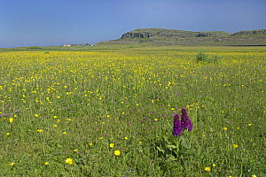 Machair in flower on island of Oronsay (RSPB reserve), Scotland UK. Northern marsh orchid (Dactlyorhiza pupurella), Meadow buttercup (Ranunculus acris) and Red clover (Trifolium pratense). June 2006  -  Chris Gomersall