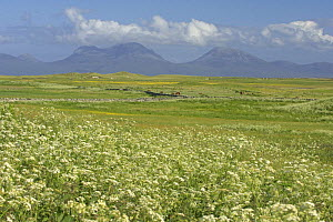 """Cow parsley (Anthriscus sylvestris) flowering in meadow. Corncrake habitat. Oronsay RSPB reserve, Isle of Oronsay, Scotland UK. """"Paps of Jura"""" in distance. June 2006 - Chris Gomersall"""