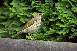 Song thrush (Turdus philomelos) on garden fence. Bedfordshire, UK. July 2006 - Chris Gomersall