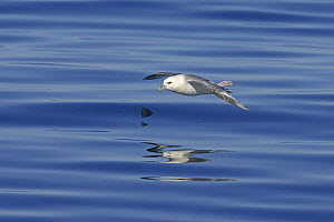 Northern fulmar (Fulmarus glacialis) in flight over calm sea, with feet projecting above tail. Iceland, July 2006 - Chris Gomersall