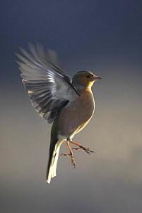 Chaffinch (Fringilla coelebs) adult male in flight, Scotland, UK  -  Pete Cairns