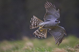 Goshawk (Accipiter gentilis) in flight over woodland clearing, Cairngorms National Park, Scotland, UK - Pete Cairns