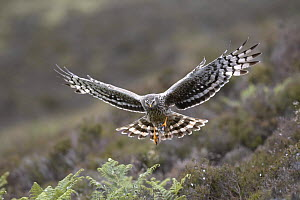 Hen harrier (Circus cyaneus) adult female bringing  Meadow pipit prey to nest, Sutherland, Scotland, UK  -  Pete Cairns
