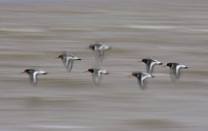 Oystercatchers (Haematopus ostralegus) flying over water, soft focus, Lancashire, UK - Pete Cairns