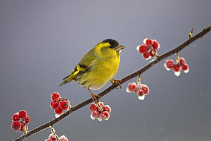 Siskin (Carduelis spinus) male perched on frosted Cotoneaster branch, Scotland, UK  -  Pete Cairns