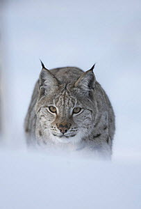 European Lynx (Lynx lynx) adult male stalking through winter birch forest, Bardu, Norway, captive - Pete Cairns