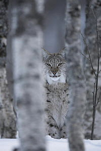 European Lynx (Lynx lynx) adult female peering out from behind tree in winter, birch forest. Bardu, Norway, captive  -  Pete Cairns
