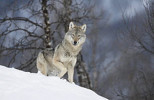 European Wolf (Canis lupis) adult female in boreal birch forest in winter, Bardu, Norway, captive - Pete Cairns