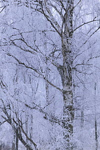 Frost laden silver birch on winters day, Glenfeshie, Cairngorms National Park, Scotland, UK 2006  -  Pete Cairns