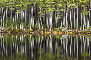 Scots pine trees (Pinus sylvestris) standing alongside Loch Mallachie, perfectly reflected in water. Cairngorms National Park, Scotland, UK - Pete Cairns