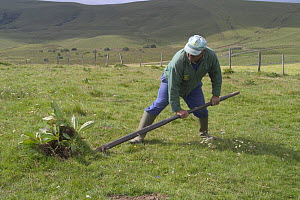 Great Yellow Gentian (Gentiana lutea) being dug up for its roots, which are used in the production of alcohol liqueur , Cantal, France  -  Jean E. Roche