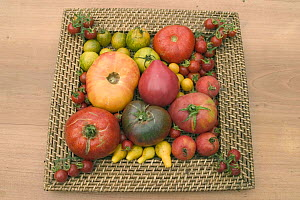 Collection of tomatoes of different varieties. Oxheart (centre), Black tomatoes 'of the Crimea', Pear tomatoes, Cherry tomatoes and Pineapple tomatoes, France  -  Jean E. Roche