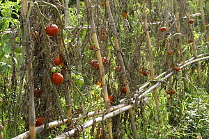 """Ripe tomatoes (Lycopersicon esculentum) on the vine. Plants are supported by a frame made from Giant Reeds (Arundo donax) (""""canne de Provence"""") Camargue, France  -  Jean E. Roche"""
