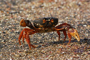 Cuban Land Crab {Gecarcinidae} crossing road, Zapata Swamp, Southern Cuba. - Mike Potts