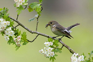 Female Pied flycatcher (Ficedula hypoleuca) with insects in beak on flowering hawthorn, spring, Wales UK - David Kjaer