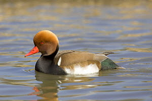 Red-crested Pochard duck (Netta ruffina) on water, captive UK  -  David Kjaer