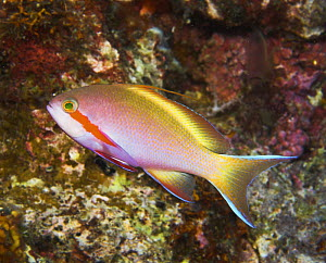 Threadfin anthias (Pseudanthias huctii), Papua New Guinea  -  Brent Hedges