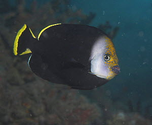 Black velvet Angelfish (Chaetodontoplus melanosoma) Papua New Guinea  -  Brent Hedges