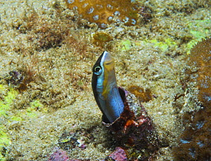 Blue-lined Fangblenny / Sabre toothed blenny (Plagiotremus rhinorhynchos) New South Wales, Australia - Brent Hedges