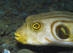 Narrow-lined / Manila pufferfish (Arothron manilensis) Papua New Guinea  -  Brent Hedges