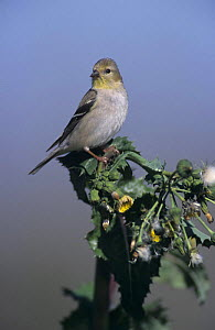 American Goldfinch (Carduelis tristis) with winter plumage on thistle, Lake Corpus Christi, Texas, USA. March 2003  -  Rolf Nussbaumer