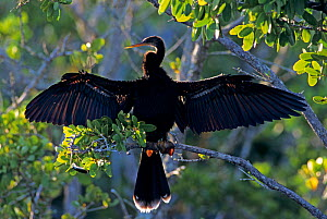 RF- Female American Darter (Anhinga anhinga) drying wings on mangrove tree, Ding Darling National Wildlife Refuge, Sanibel Island, Florida, USA. December. (This image may be licensed either as rights...  -  Rolf Nussbaumer