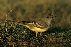 Ash-throated Flycatcher (Myiarchus cinerascens) by water to drink, Starr County, Rio Grande Valley, Texas, USA. May 2002  -  Rolf Nussbaumer