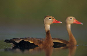 A pair of Black-bellied Whistling-Ducks (Dendrocygna autumnalis) Lake Corpus Christi, Texas, USA, April 2003  -  Rolf Nussbaumer