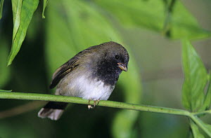 Male Black-faced Grassquit (Tiaris bicolor) on branch, Rocklands, Montego Bay, Jamaica. January 2005  -  Rolf Nussbaumer