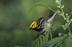 Male Black-throated Green Warbler (Dendroica virens) South Padre Island, Texas, USA. May 2005  -  Rolf Nussbaumer
