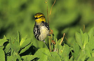 Female Black-throated Green Warbler (Dendroica virens) South Padre Island, Texas, USA. May 2005  -  Rolf Nussbaumer