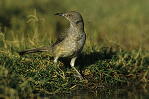 Curve-billed Thrasher (Toxostoma curvirostre) by water to drink, Starr County, Rio Grande Valley, Texas, USA. May 2002  -  Rolf Nussbaumer