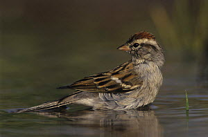 Chipping Sparrow (Spizella passerina) bathing in water, Willacy County, Rio Grande Valley, Texas, USA. March 2004 - Rolf Nussbaumer