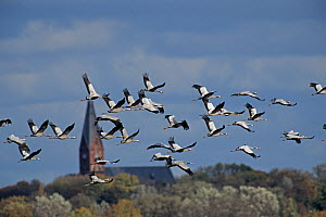 RF- Flock of Common Crane (Grus grus) in flight, Ruegen, Germany. October. (This image may be licensed either as rights managed or royalty free.)  -  Rolf Nussbaumer